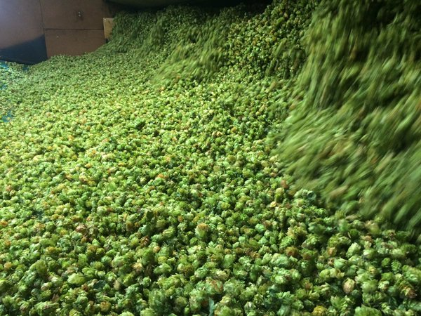 New Zealand Nelson green hops tipping into the kiln